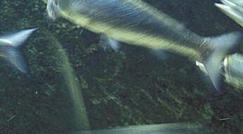 Nanosølv kan drepe fisk