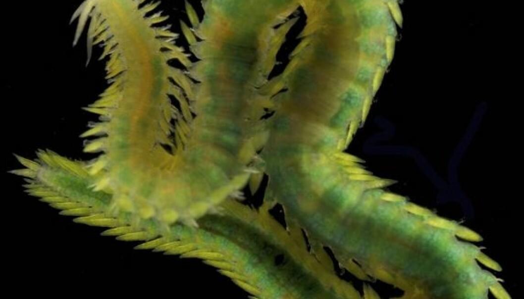 Eulalia viridis, en fem centimeter lang, rovlevende art fra hardbunn på grunt vann, finnes ofte gjemt blant alger. Fredrik Pleijel