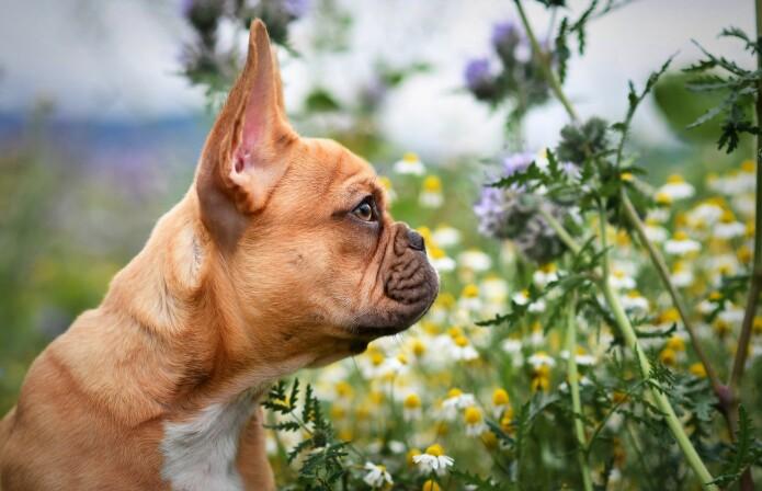 De franske bulldogene har veldig kort snute.