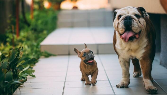 Fransk og engelsk bulldog.