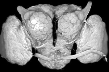 Nattsvermerhjernen sett forfra. Ved bruk av en spesiell immunofargingsteknikk, er velorganiserte synapseområder synliggjort. For eksempel kan hjernens primære luktsenter, antenneloben, som består av karakteristiske kuleformede strukturer, ses i hver hemisfære. Ved antennelobens øvre del, ser vi den såkalte antennenerven - som altså tilsvarer vår luktenerve. (Foto: NTNU)