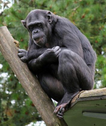 Sjimpansen er den nålevende arten som er tettest beslektet med mennesket. Vi deler 99 prosent av DNA-et med sjimpansen. Neandertalere og denisovafolk var imidlertid tettere beslektet med mennesker enn sjimpansen. Dem delte vi 99,9 prosent av arvematerialet vårt med. (Foto: Colourbox)