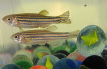 """""""Klinkekulene har som formål å beskytte eggene når sebrafisken gyter"""""""