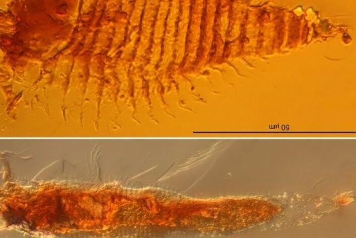 Høyt oppe i Dolomittene har disse to vært innkapsla i rav i nærmere en kvart milliard år. (Foto: University of Göttingen/A. Schmidt)