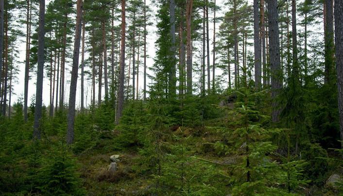 Av verdens opprinnelige skoger er det bare de tropiske regnskogene som har bevart sin naturlige artssammensetning over større områder og dermed kan kalles urskoger. (Foto: Colourbox.com)