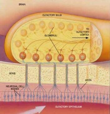Skjematisk fremstilling av menneskehjernens primære luktsenter, lukteloben. I likhet med insekthjernen, består dette synapseområdet av et nervenettverk som danner karakteristiske kuleformede strukturer (glomeruli). (Foto: (Illustrasjon: NTNU))