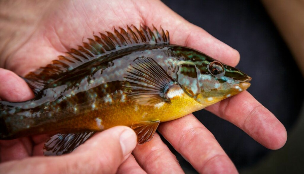 Berggylt er den største av leppefiskane, og er populær som reinsefisk i oppdrettsanlegg.