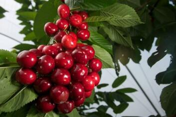 """Moreller eller søtkirsebær av sorten """"Sweetheart"""" dyrket i tunnel. (Foto: Eivind Kvamme)"""