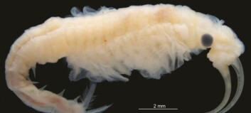 Det lille krepsedyret lever i vann, men bor midt i ørkenen