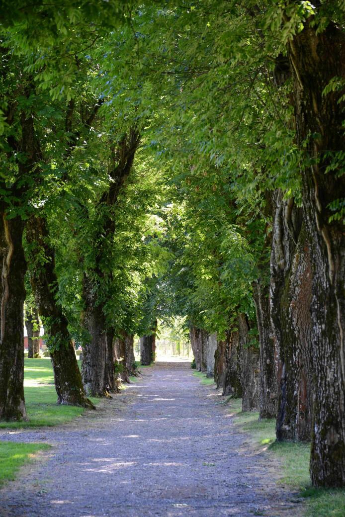 Askealléen på Tønsberg gamle kirkegård er eneste kjente tilholdssted for eremitten i Norge. Hva skjer med arten når trærne dør?