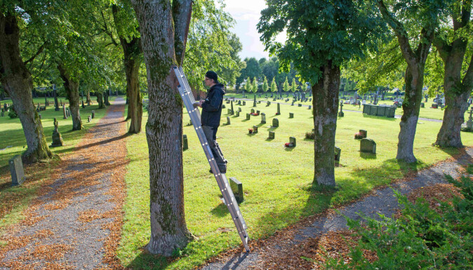 Siden overvåkingsprosjektet startet er det påvist yngling i et tjutealls trær i askealléen på kirkegården i Tønsberg.