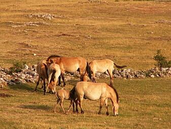 Przewalski-hester har blitt satt ut igjen i det fri, og noen få ville flokker finnes i Mongolia og Kina.