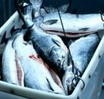 """Frisk fisketarm og betent fisketarm."""