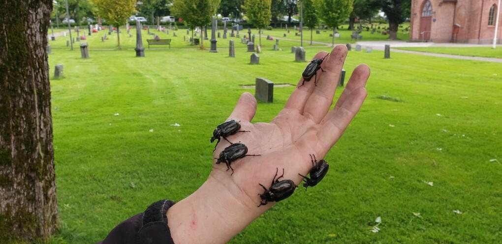 Eremitt-billene er kun funnet et sted i Norge, i gamle trær på en gravplass i Tønsberg.
