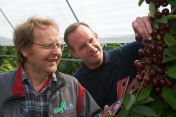 """Forsker Mekjell Meland fra Bioforsk og professor Clive Kaiser fra Oregon State University studerer søtkirsebærsorten """"Sweetheart"""" dyrket i plasttunnel. (Foto: Eivind Kvamme)"""