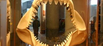 Hvor stor var egentlig monsterhaien Megalodon?