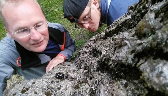 Forskerene Oddvar Hanssen og Anders Endrestøl besøker eremitten hver sommer. De kartlegger og overvåker eremittbestanden på Tønsberg gamle kirkegård på oppdrag fra Fylkesmannen i Vestfold og Telemark.