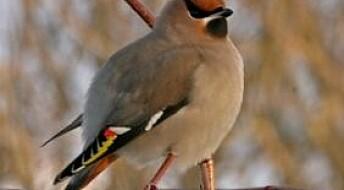 Bakgrunn: Ukens fugl: Sidensvans