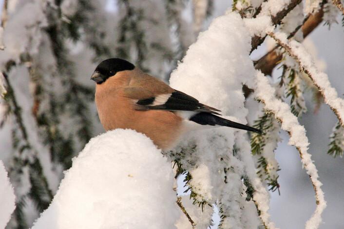 Dompapen er hos oss hele året, vi ser den mest på vinteren. Derfor har den også blitt en julefugl. (Foto: Hans Petter Kristoffersen / Skog og landskap)