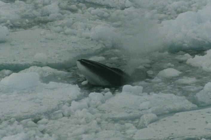 Den sørlige vågehvalen blir større enn den nordlige - nærmere 11 meter lang og 14 tonn tung. (Foto: Brocken Inaglory, Wikimedia Commons)