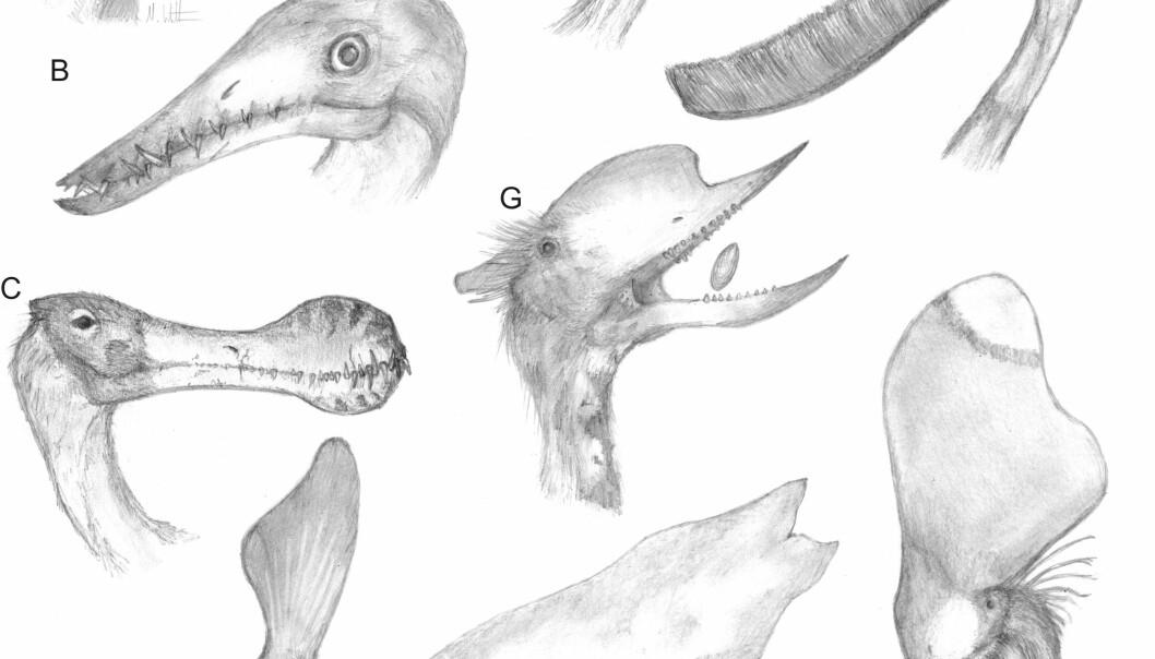 Illustrasjon av kraniene til forskjellige pterosaurer i gruppen pterodactyloidea, som viser variasjonen i både kjeveformen, tennene, proporsjoner og hodepynt på enten nebb eller i bakhodet. Artene som vises er: A, Dimorphodon; B, Rhamphorhynchus; C, Coloborhynchus; D, Pteranodon; E, Pterodactylus; F, Pterodaustro; G, Dsungaripterus; H, Tupandactylus; I, Thalassodromeus. (Illustrasjon: Mark Witton)