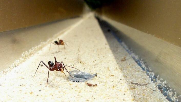 Maur kunne finne vegen heim når det einaste landemerket som fanst var vibrasjonar i bakken nær holet. (Foto: Elisa Badeke, Max Planck Institute for Chemical Ecology)