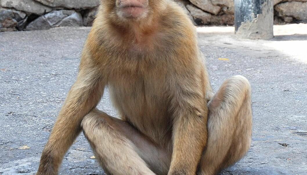 Makakaper nederst i hierarkiet blir ofte bitt og slått av de andre apene. Overgrepene gjør apene stresset, noe som svekker immunsystemet deres. (Photo: Colourbox)