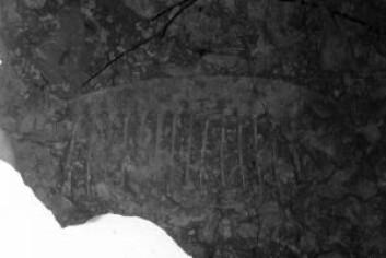 Det er blant annet dette fossilet Jakob Vinther har brukt for å vise at Tamisiocaris var en filterspiser. (Foto: University of Bristol)