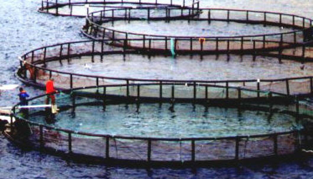 Oppdrettsfisk kan bli klimaflyktning