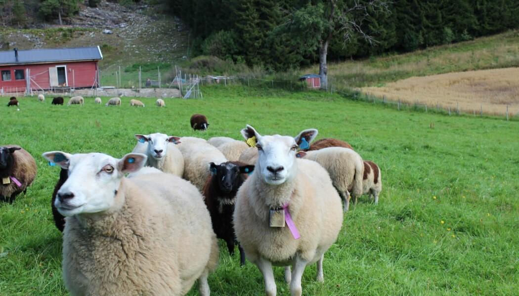 – Kan vi ikke bare spise gress? Det spiller ikke så stor rolle for meg hvordan det vokser, sier en representant for sauene på Håberg gård.