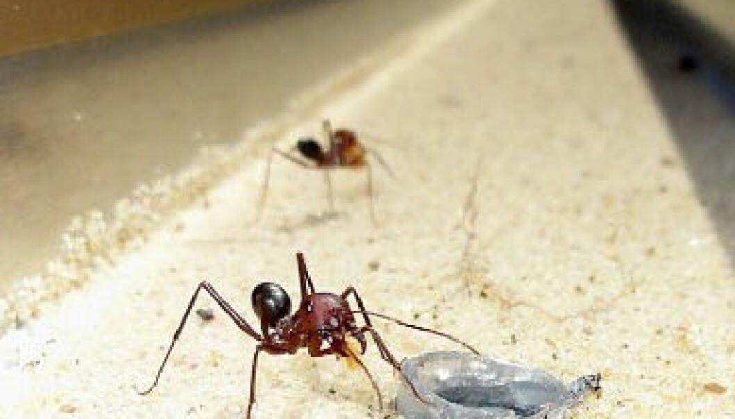 Maur kunne finne vegen heim når det einaste landemerket som fanst var vibrasjonar i bakken nær holet. Elisa Badeke, Max Planck Institute for Chemical Ecology