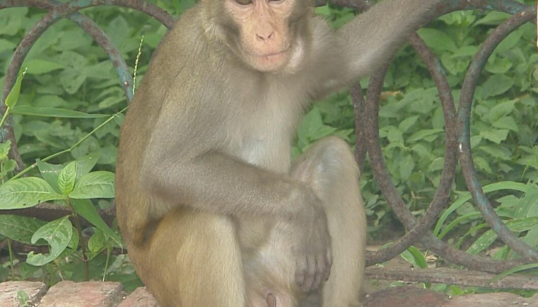 Forskere fikk rhesusaper til å strekke seg etter forskjellige ting, og leste samtidig av hjernesignalene deres. Noe av det de overraskende fant ut var at apenes forskjellige personligheter viste seg på de dekodede hjernesignalene deres. Wikimedia commons