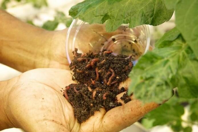 Meitemarken sørger for at næringsstoffene i kompostjorda blir tilgjengelige for plantene.