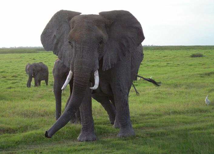 Elefanter kan kommunisere over lange avstander med en lavfrekent rumling som knapt kan høres av mennesker. Elefant i Amboseli National Park i Kenya. (Foto: Angela S. Stoeger)