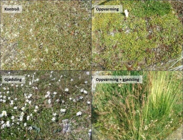 Vegetasjonen endrer seg fra reinrose til nesten bare gress etter fire år med oppvarming og gjødsling.