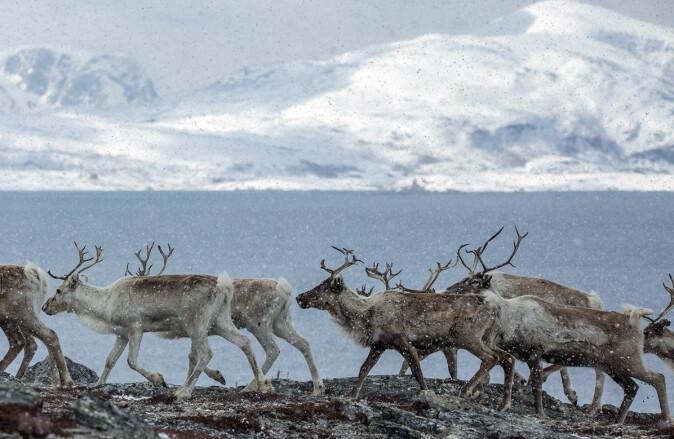 Dyr i Arktis har helt spesielle årstider å forholde seg til, med konstant lys og konstant mørke.
