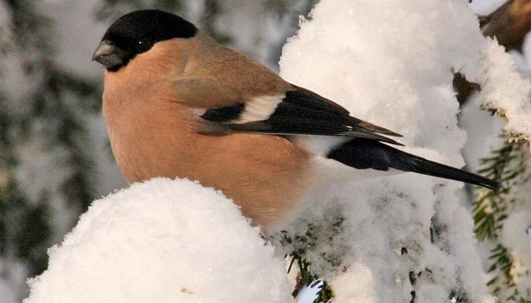 Dompapen er hos oss hele året, men det er nå på vinteren vi ser den mest. Derfor har den også blitt en av fuglene vi forbinder med jul. Hans Petter Kristoffersen / Skog og landskap