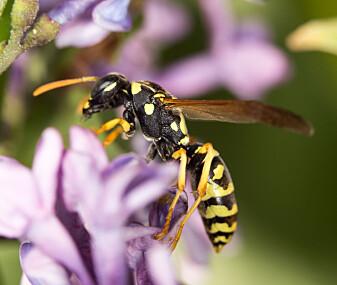 Du trodde kanskje at bare biene gjorde en jobb i pollineringsprosessen? Neida, vepsen bidrar også; den tyr gjerne til blomsternektar når den er på jakt etter noe søtt.