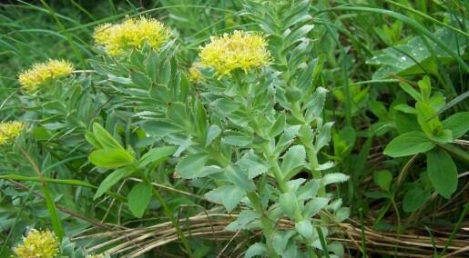 Rosenrot kan virke mot stress og norske planter har mye av de riktige stoffene, ifølge studie