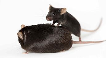 Mus hjelper diabetikere: Fettet blir friskere med trening