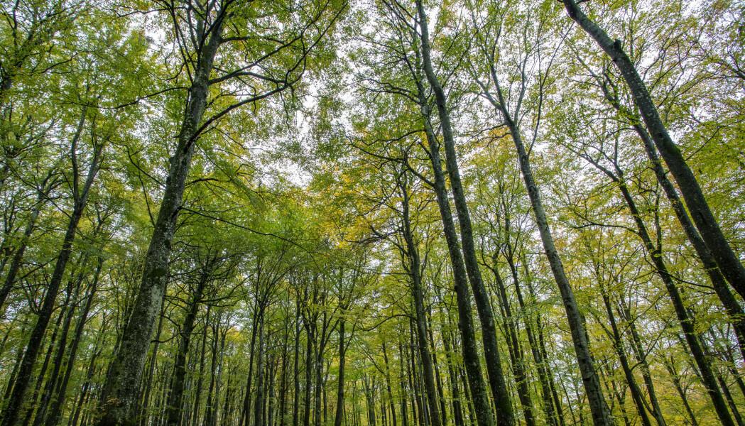 Skogene er verdens grønne lunger. En ny, internasjonal studie viser at de eldre trærne er viktigere enn de unge når det kommer til lungekapasiteten.