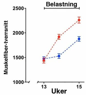 Muskelstørrelse under belastningstrening med og uten tidligere steroid-bruk. Muskler som hadde blitt behandlet med steroider 13 uker tidligere (rødt) vokser signifikant raskere enn de som ikke har blitt behandlet med steroider (blått). (Foto: (Illustrasjon: Jo C. Bruusgaard))