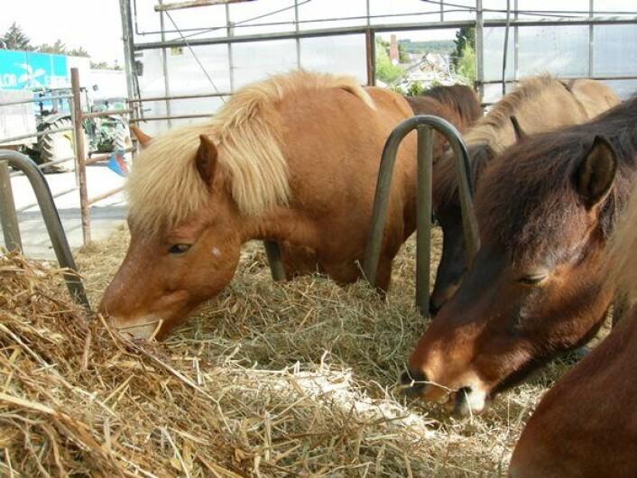 Høyensilasje har blitt et populært fôr til hest. (Foto: Astrid Johansen)
