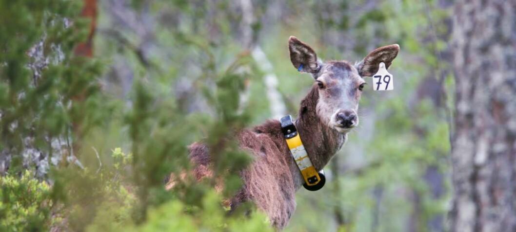 Nå kan du følge hjorten på mobiltelefonen