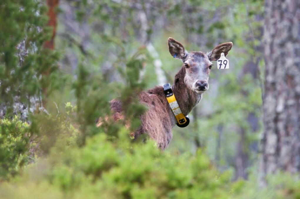 GPS-teknologi gjør det mulig å studere bevegelsene til de store hjortedyrene på et helt annet detaljnivå enn tidligere.