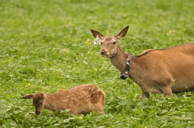 GPS-merket hjort med kalv.