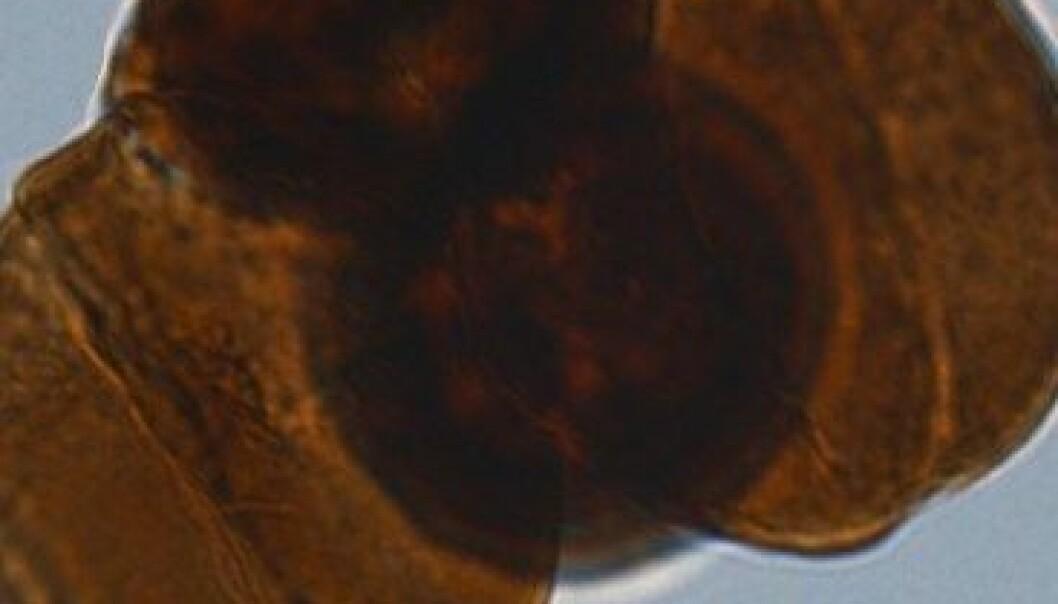Redwoodtreet eller kystsequioa, er ein nolevande slektning av den utdøydde bartregruppa Cheirolepidaceae. Wikimedia commons