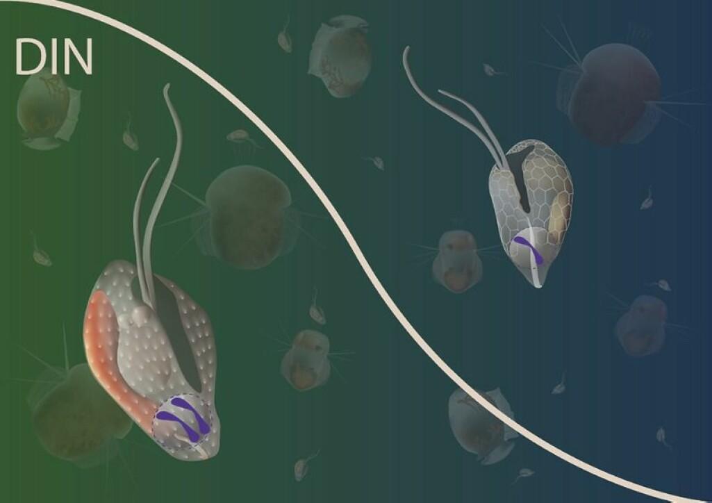 Illustrasjonen viser deler av næringskjeden i havet. Cellene i forgrunnen representerer Teleaulax amphioxeia med to sett kromosomer til venstre og med ett sett til høyre.