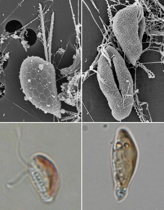 De bittesmå, encellede algene viser seg å ha et mer avansert reproduksjonsmønster enn forskerne tidligere har visst.