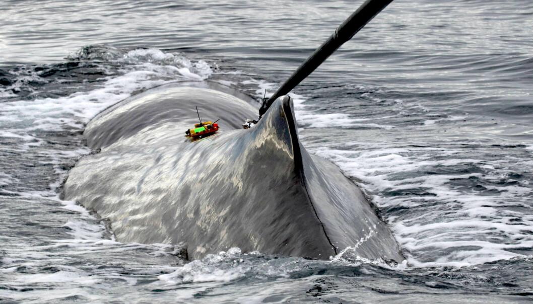 Forskerne må jobbe raskt for å få plassert sonden på hvalen før den dykker.